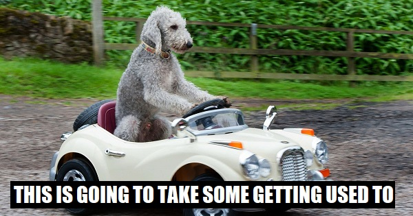 PAY-Barry-the-Bedlington-Terrier-who-drives-a-Rolls-Royce